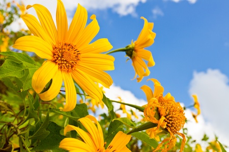 tong: Mexican sunflower weed Stock Photo