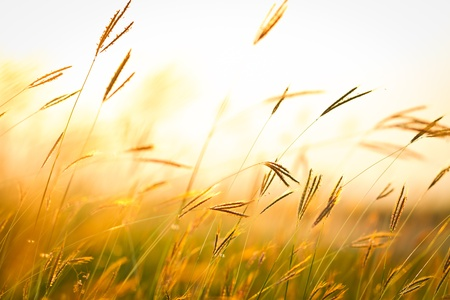 Grass bloom during sunset