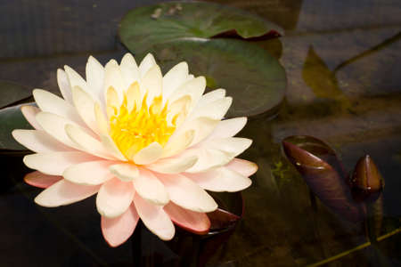 Pink water lily Stock Photo - 12326093