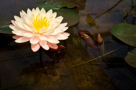Pink water lily in a pond Stock Photo - 12326099