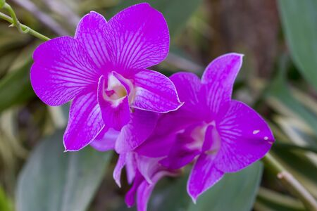 Purple orchid Stock Photo - 12863120