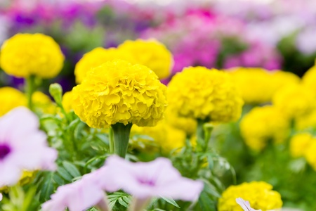 Close up yellow marigold flowers with blurry background and foreground Stock Photo
