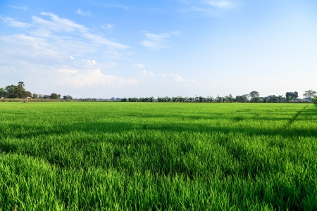 Rice field and farmer hut in countryside of Thailand photo