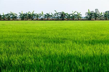 far east: Campo de arroz y banano en el campo de Tailandia Foto de archivo