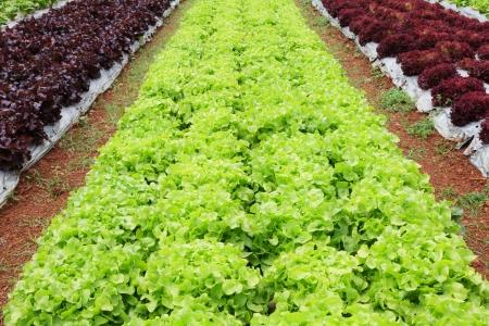 Fresh and tasty salad and lettuce plantation Stock Photo