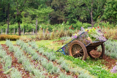 pushcart: An old pushcart in the flowers field