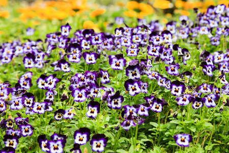 Close up of small violet flowers in the flower field Stock Photo - 18577461
