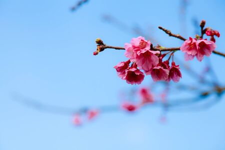 Pink sakura with bright blue sky background Stock Photo - 18781722