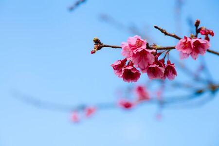 Pink sakura with bright blue sky background Stock Photo - 18781722