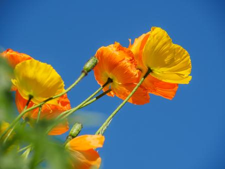 poppy: California Golding amapolas en flor en primavera con el cielo azul de fondo