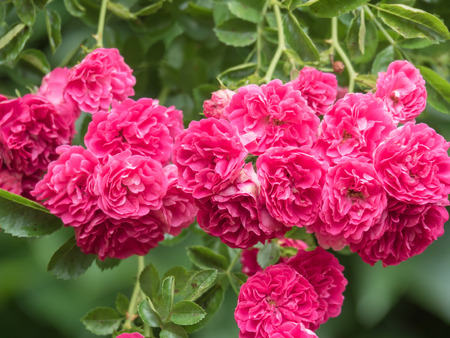 Bush of beautiful pink roses on the green leaves background Stock Photo