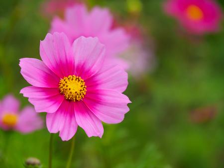 campo de flores: Pink cosmos flower (Cosmos Bipinnatus) closeup with green blurred background Foto de archivo