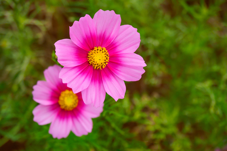 Pink cosmos flower (Cosmos Bipinnatus) closeup with green blurred background Stock Photo