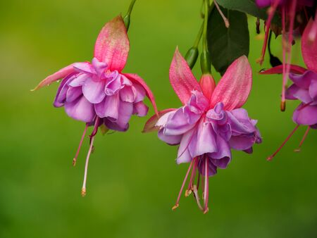 Fuchsia flowers with water droplet over green background