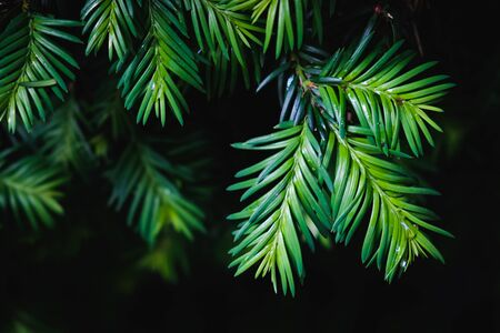 Close-up of green pine tree leaves on black background Stock Photo