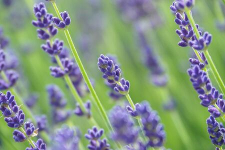 Lavender field close up with shallow depth of field
