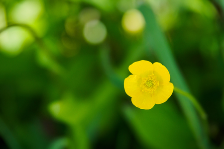 Small yellow flower on green bokeh blackground, close-up.