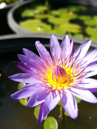 Beautiful purple lotus flower in the sunny day with shallow depth of field. Stock Photo