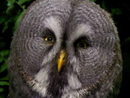 full face: Great Gray Owl Portrait Full face in wild animal fair Stock Photo