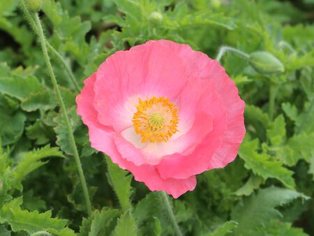 flower  pink verdant