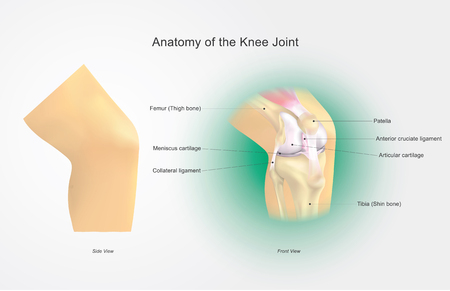 The knee joint joins the thigh with the leg and consists of two articulations: one between the femur and tibia, and one between the femur and patella. It is the largest joint in the human body. Vector art, Illustration.