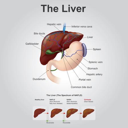 肝臓は、失われた組織、肝臓の 25% ほどの自然を再生できる唯一の人間の臓器が肝臓全体に再生成できます。これは、ただし、ありません哺乳類では