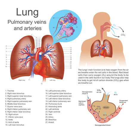 The lungs are the primary organs of respiration in humans and many other animals including a few fish and some snails. In mammals and most other vertebrates, two lungs are located near the backbone on either side of the heart.  Vector art, Illustration.