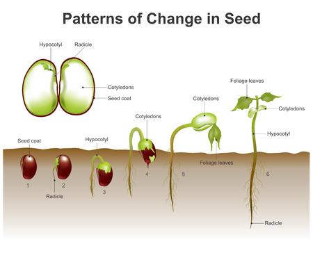 Die Keimung ist der Prozess, durch den eine Pflanze aus einem Samen wächst. Das häufigste Beispiel für die Keimung ist das Sprießen eines Sämlings aus einem Samen einer Angiosperme oder Gymnospermen. Vektor, Illustration. Standard-Bild - 70458304
