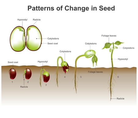 Germination is the process by which a plant grows from a seed. The most common example of germination is the sprouting of a seedling from a seed of an angiosperm or gymnosperm. Vector, illustration.