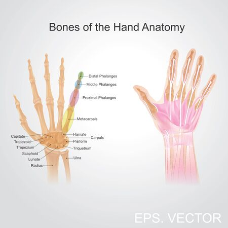 Fingers contain some of the densest areas of nerve endings on the body, and are the richest source of tactile feedback. They also have the greatest positioning capability of the body, thus the sense of touch is intimately associated with hands. Vector, il Illustration