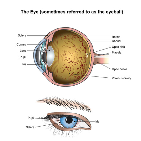 electrochemical: Eyes are the organs of vision. They detect light and convert it into electro-chemical impulses in neurons. In higher organisms, the eye is a complex optical system which collects light from the surrounding environment. Vector, illustration.