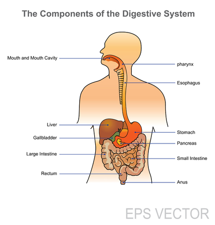 The human digestive system consists of the gastrointestinal tract plus the accessory organs of digestion (the tongue, salivary glands, pancreas, liver, and gallbladder). In this system, the process of digestion has many stages. Vector, Illustration.