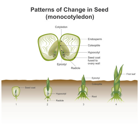 showing hypogeal development in which the cotyledon remains invisible within the seed, underground. The visible part is the first true leaf produced from the meristem; the cotyledon itself remains within the seed. Vector, Illustration.