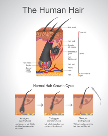 concurrent: Hair follows a specific growth cycle with three distinct and concurrent phases anagen, catagen, and telogen phases. Each phase has specific characteristics that determine the length of the hair. Vector, Illustration. Illustration