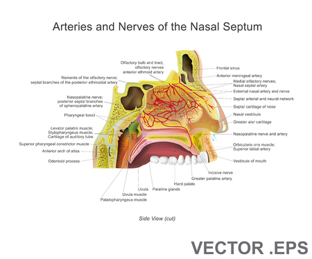 The nasal cavity (or nasal fossa) is a large air filled space above and behind the nose in the middle of the face. Each cavity is the continuation of one of the two nostril. Vector, Illustration.