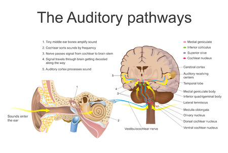 auditory: The auditory system is the sensory system for the sense of hearing. It includes both the sensory organs (the ears) and the auditory parts of the sensory system. Vector, Illustration.