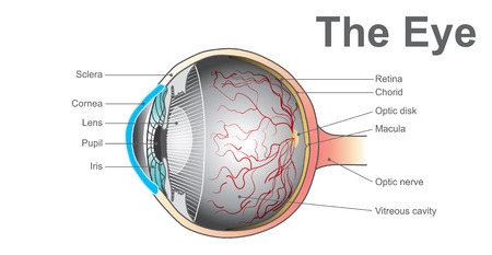 Eyes are the organs of vision. They detect light and convert it into electro-chemical impulses in neurons. Anatomy body human vector graphic.