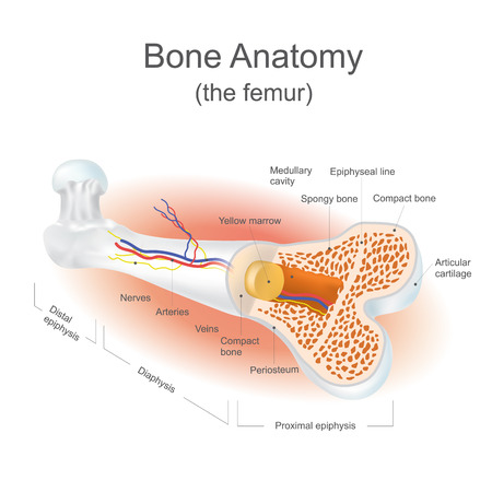 The femur is the strongest bone in the body. Info graphic vector.