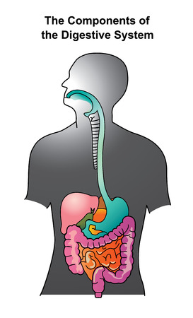 The human digestive system consists of the gastrointestinal tract plus the accessory organs of digestion. In this system, the process of digestion has many stages. Info graphic vector. Çizim