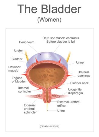 방광 인간에서 방광은 골반 바닥에 앉아있는 움푹 들어간 근육질의 팽창성 (또는 신축성) 기관입니다. 일러스트