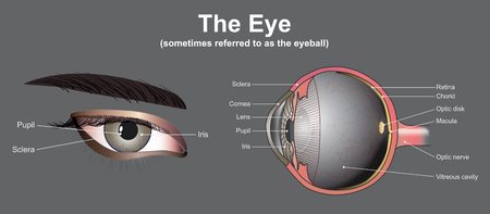 Eyes are the organs of vision. They detect light and convert it into electro-chemical impulses in neurons. In higher organisms, the eye is a complex optical system which collects light from the surrounding environment