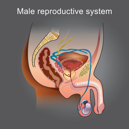 Das männliche Fortpflanzungssystem besteht aus einer Anzahl von Geschlechtsorganen, die im Prozess der menschlichen Fortpflanzung eine Rolle spielen. Info-Grafik-Vektor.