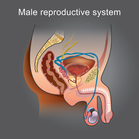 The male Reproductive system consists of a number of organs that play a role in the process of human reproduction. Info graphic vector.