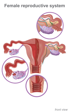 The female reproductive system contains two main parts: the uterus, which hosts the developing fetus, produces vaginal and uterine secretions. Info graphic Vector. Illustration