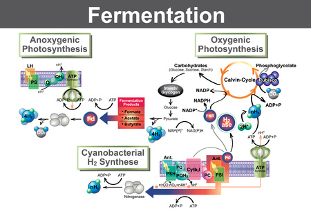 Fermentation is a metabolic process that converts sugar to acids, gases or alcohol. It occurs in yeast and bacteria, and also in oxygen-starved muscle cells, as in the case of lactic acid fermentation.