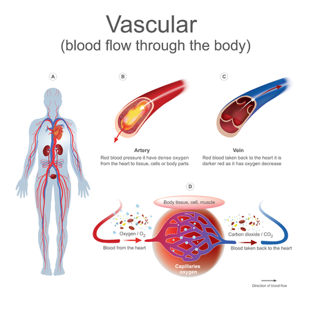 Red blood pressure it have dense oxygen from the heart to tissue, cells or body parts.Red blood taken back to the heart it is darker red as it has oxygen decrease. Illustration human body.