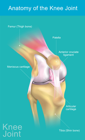 The knee joint joins the thigh with the leg and consists of two articulations: one between the femur and tibia and one between the femur and patella. It is the largest joint in the human body. Illustration anatomy body.