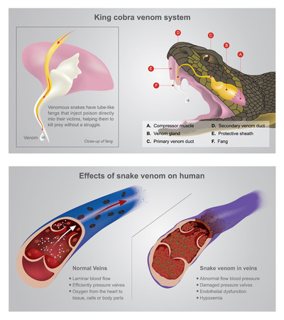 King cobra venom system. Venomous snakes have tube-like fangs that inject poison directly into their victims help them to kill prey without a struggle. Info graphic Illustration. 일러스트