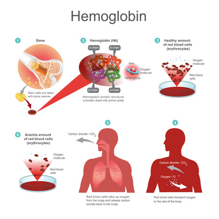 Red blood cells (erythrocytes) begins in the bone marrow. Red blood cells transport oxygen to the rest of the body. Haemoglobin protein structure is broken down into amino acids. Illustration.
