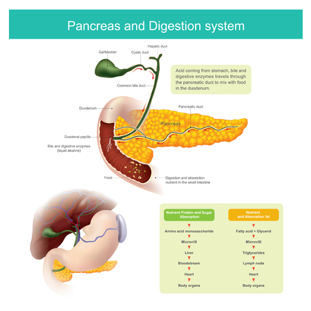 The digestive enzymes travels through the pancreatic duct to mix with food in the duodenum. The liver produce Bile, which is stored in the gall bladder released into the small intestine. The small intestine enzymes need to work.